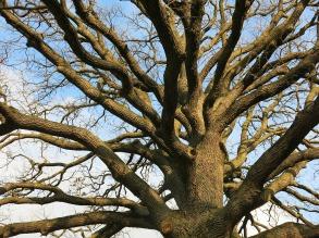 Walnut tree reduction