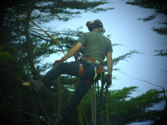 tree services - Pruning
