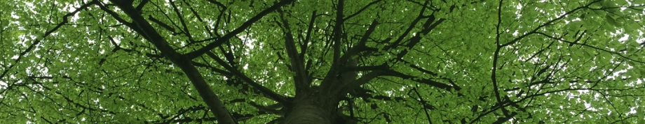Beech tree canopy